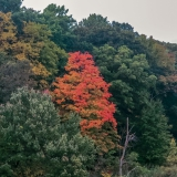 Lone Red Maple Tree near Lake Te-Ata