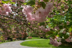 Cherry Blossoms in Somers 4