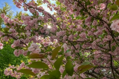 Cherry Blossoms in Somers 3