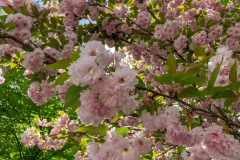 Cherry Blossoms in Somers 2